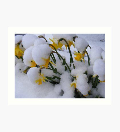 Snowy Daffs Art Print