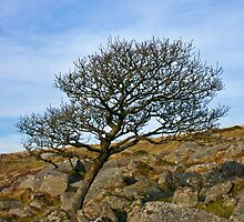 Dartmoor Tree by kgoodwinphoto