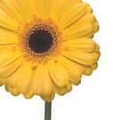 Square Yellow Gerbera Flower by Ra12