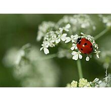 Ladybug & Hemlock Photographic Print