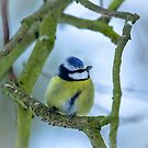 Blue Tit in the Snow by Sarah Walters