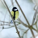 Great Tit by Sarah Walters