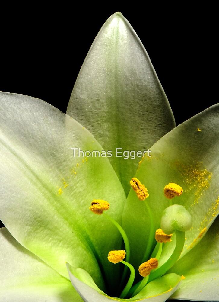 Lily by Thomas Eggert