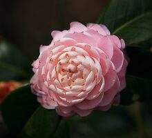 Pink Perfection by Carol Bailey White