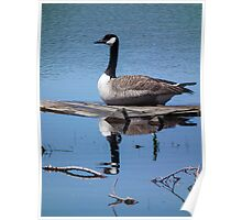 Canada Goose on Floating Board Poster
