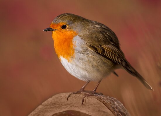 Red Robin by Patricia Jacobs DPAGB LRPS BPE4