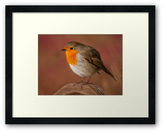 Red Robin by Patricia Jacobs CPAGB LRPS BPE3