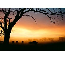 Cows grazing in the morning mist - Tongala - Victoria, Australia Photographic Print
