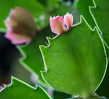 Christmas Cactus New Growth by Deb Fedeler