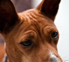 Basenji Curiosity by Norman Repacholi
