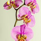 Pink Orchid by Nick Field