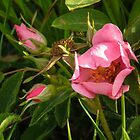 Prairie Rose Opening and Two Buds by Deb Fedeler