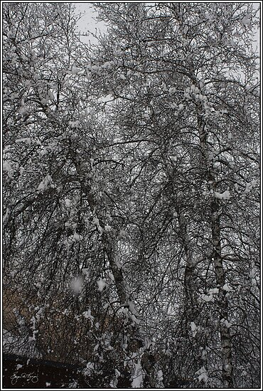 Grey Birch Details in a Snowstorm by Wayne King