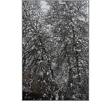 Grey Birch Details in a Snowstorm Photographic Print