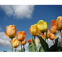 Orange Tulip Flowers art prints Spring Tulips Photographic Print