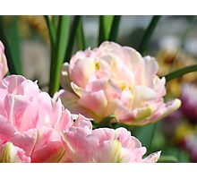 Pink Tulip Flowers Spring Tulips art prints Photographic Print