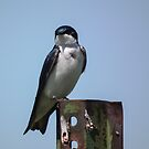 Tree Swallow on Metal Post by Deb Fedeler
