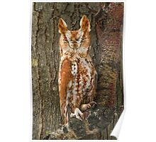 Eastern Screech-Owl ( Red Phase ). Poster