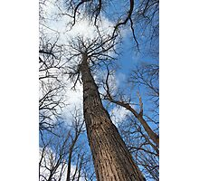 Tall Trees in Spring 6 Photographic Print