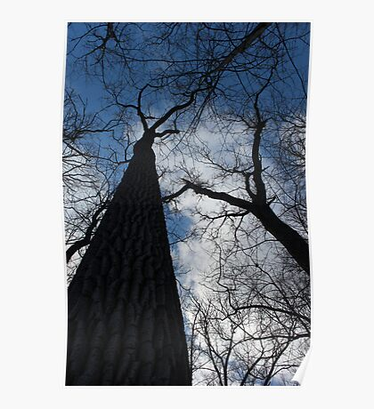 Tall Trees in Spring Poster