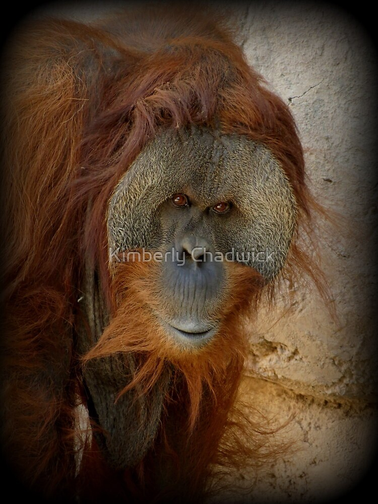 Sumatran Orangutan~ My name is Ibu by Kimberly Chadwick