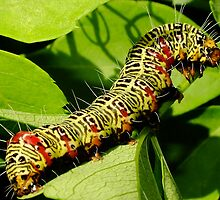 Grapevine moth caterpillar - Phalaenoides tristifica by Gabrielle  Lees