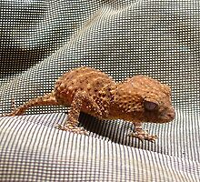 Knob-tailed Gecko by overtherange