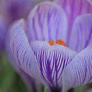 Spring Crocus by Lynn Gedeon