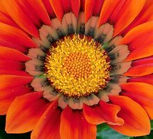 Gazania in the Garden I by Kathleen M. Daley