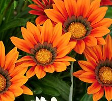 Gazania in the Garden V by Kathleen M. Daley