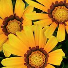 Gazania in the Garden VI by Kathleen Daley