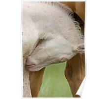 Horse and colt Saskatchewan Canada Poster