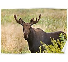Bull Moose in Saskatchewan Prairie wheat bush close up Poster