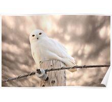 Snowy Owl Saskatchewan Canada Poster