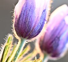 Spring Time Crocus Flower by pictureguy