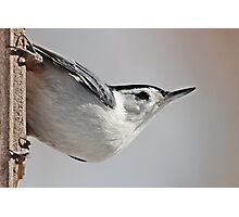 White-breasted nuthatch Photographic Print