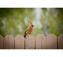 Mrs. Cardinal Photographic Print