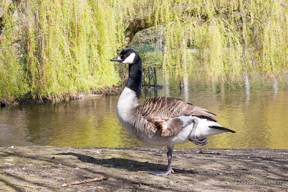 Canada goose in Hanley park Stoke on Trent by David Patterson