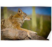 Desert Coyote Poster