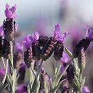 Lavender by Lynn Starner