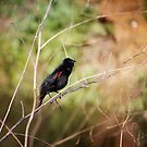 Red-winged Blackbird by Lynn Starner