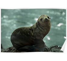Sea Lion at black lava field on at Palos Verdes, CA Poster