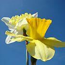 Spring Blue Sky art prints Yellow Daffodils Flowers by BasleeArtPrints