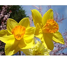 Orange Yellow Daffodil Flowers art prints Spring Photographic Print