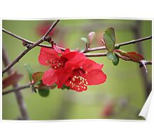 Japanese Quince Poster