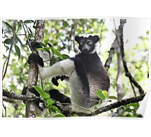 Wild Indri of Madagscar Poster