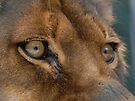 Lioness Eyes by Martha Medford