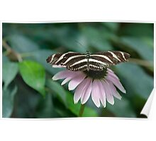 Zebra Longwing (Heliconius charithonia) Poster