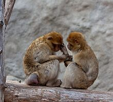 A nice couple of macaques by Balint Takacs