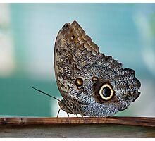 Owl Butterfly (Caligo eurilochus) Photographic Print